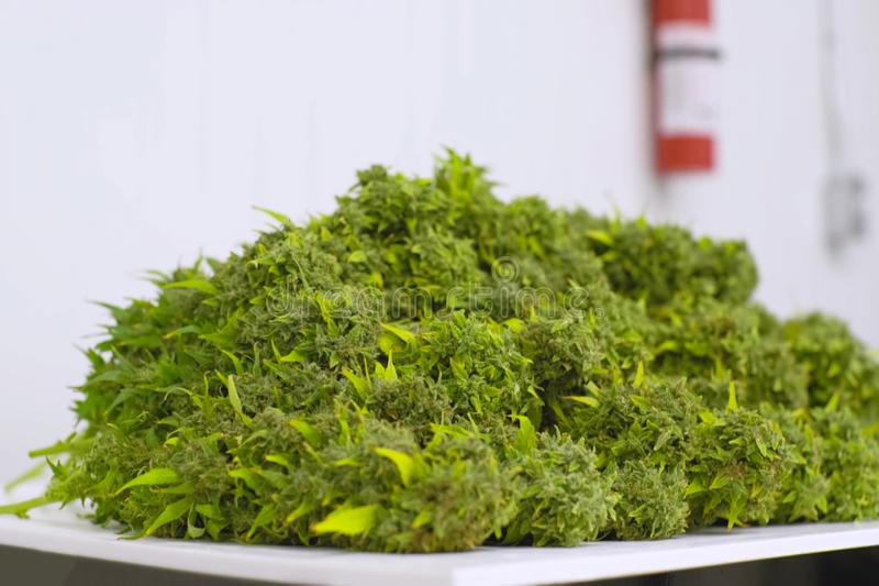 Folding raw freshly picked cannabis inflorescences for drying. Cooking marijuana for medical purposes. A Folding raw freshly picked cannabis inflorescences for royalty free stock images