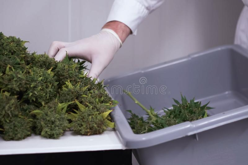 Folding raw freshly picked cannabis inflorescences for drying. Cooking marijuana for medical purposes. A Folding raw freshly picked cannabis inflorescences for stock photography