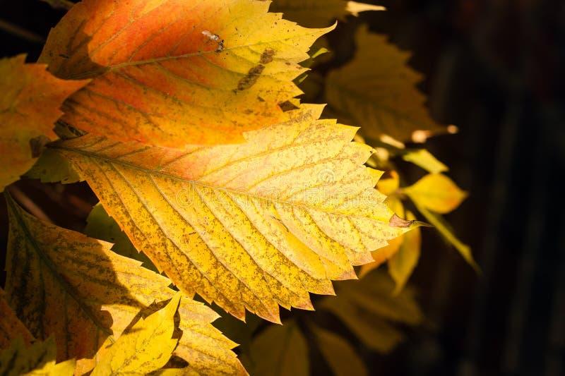 Folha amarela brilhante avermelhada da uva na obscuridade fotografia de stock royalty free