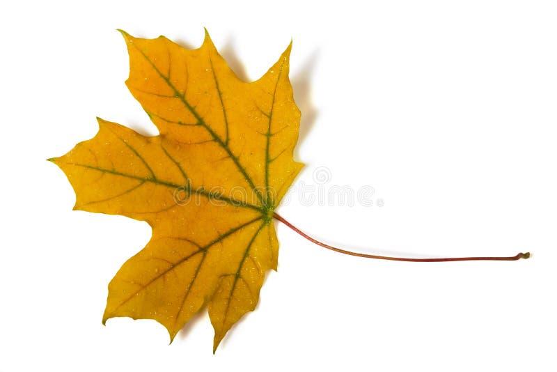 Folha amarela caída último isolada no branco imagens de stock