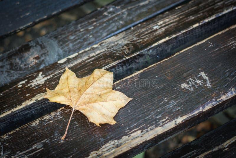 Folha amarela caída da árvore de bordo, conceito do outono imagens de stock royalty free