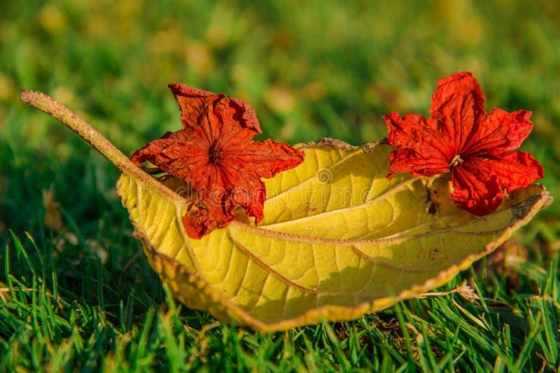 Folha amarela com close-up vermelho Autumn Background das flores fotografia de stock