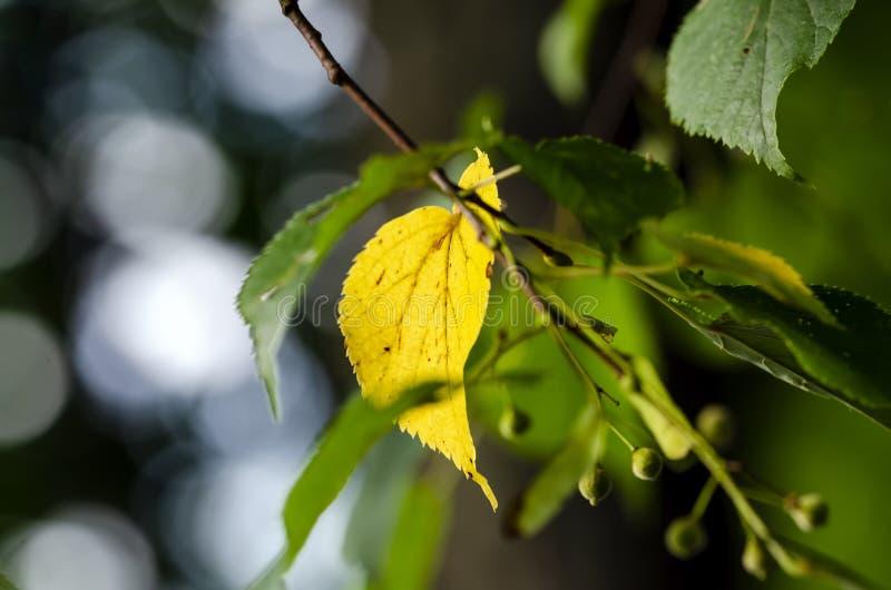 Folha amarela do cal pequeno-com folhas imagem de stock