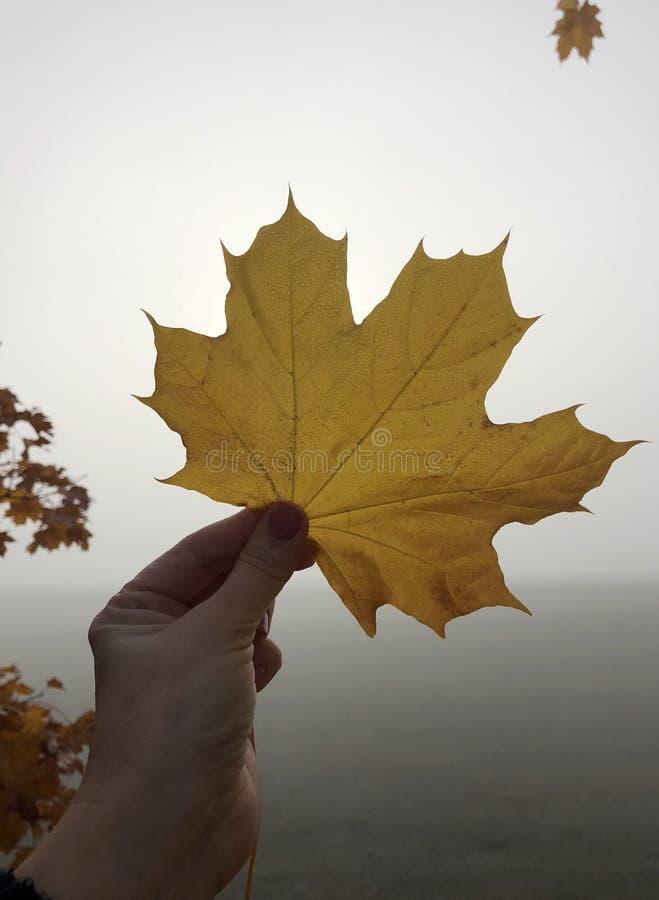 Folha amarela do outono do bordo à disposição imagens de stock royalty free