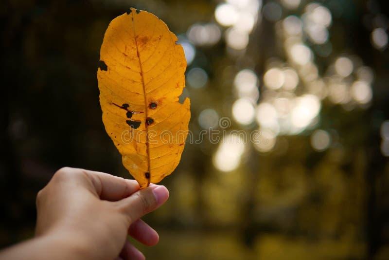 Folha amarela do outono com furos na mão do ` s da mulher no bokeh borrado f fotos de stock royalty free