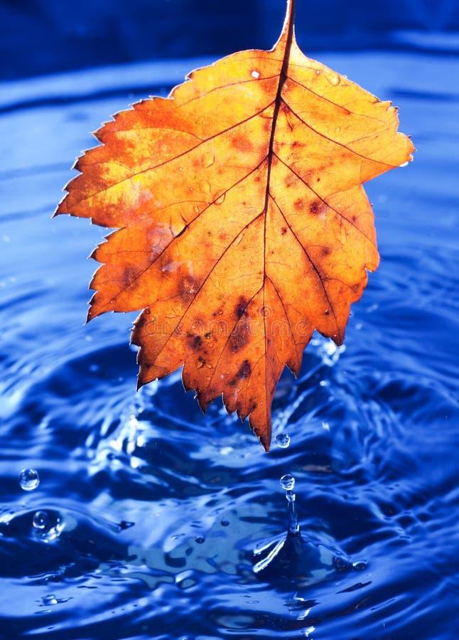 Folha amarela do outono com gotas imagens de stock royalty free