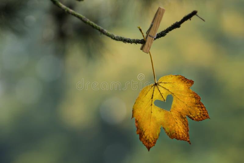 Folha amarela e alaranjada com o coração cortado que pendura no ramo com pregador de roupa foto de stock royalty free