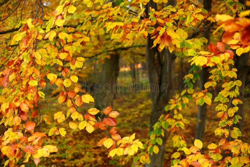 Folha amarelando do fundo da queda de árvores do outono nas madeiras imagens de stock royalty free