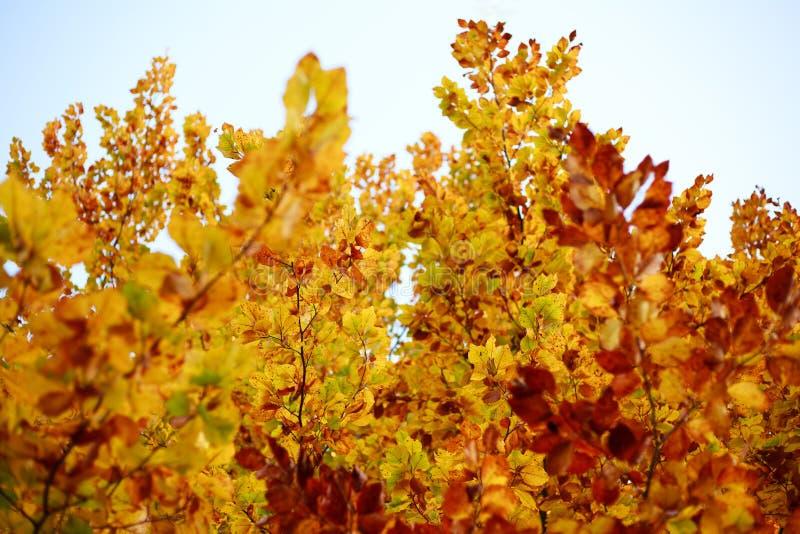 Folha amarelando do fundo da queda de árvores do outono nas madeiras imagem de stock royalty free