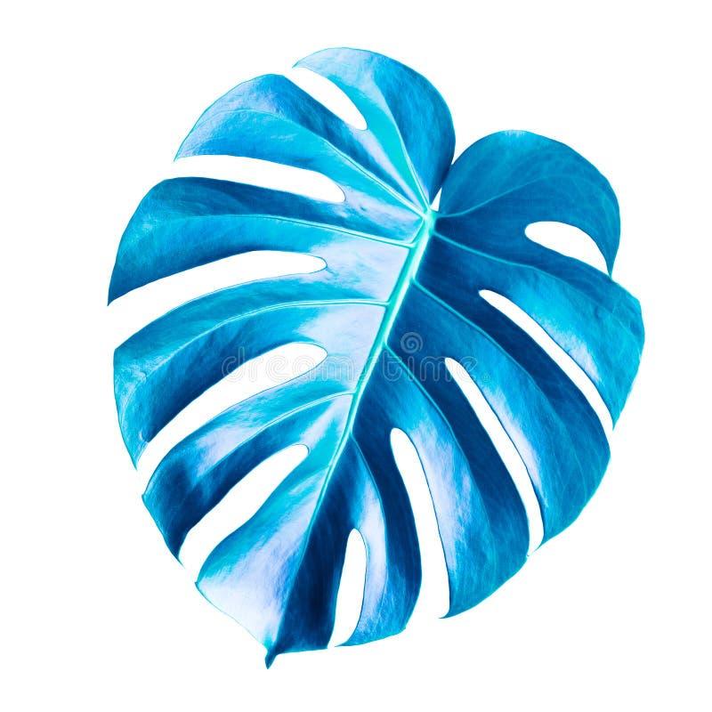 Folha azul clássica de Monstera, isolada em branco fotografia de stock royalty free