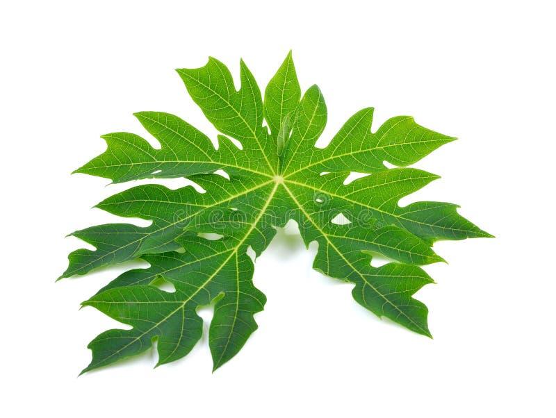 Folha bonita do verde da papaia nos fundos brancos fotos de stock