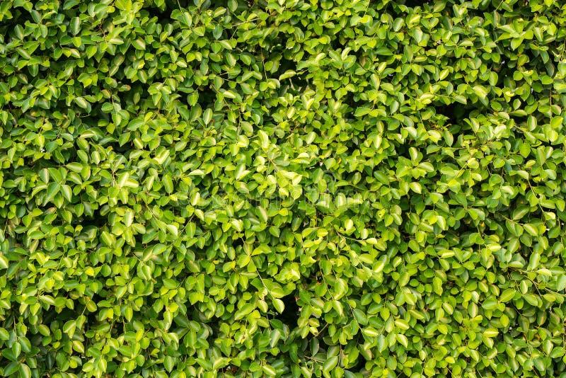Folha bonita do verde vívido, folha fresca para o blackground foto de stock royalty free