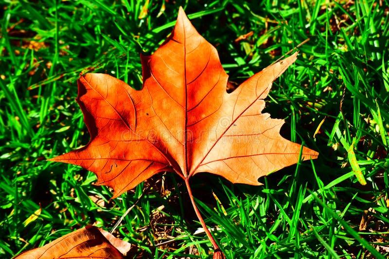 Folha brilhante do carvalho na grama verde fresca imagens de stock