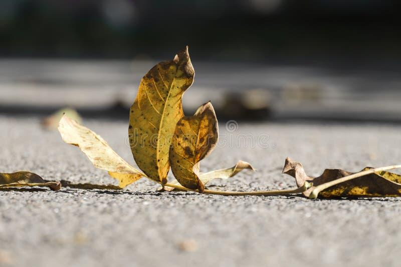 A folha caída amarelada de uma noz encontra-se na terra imagem de stock royalty free