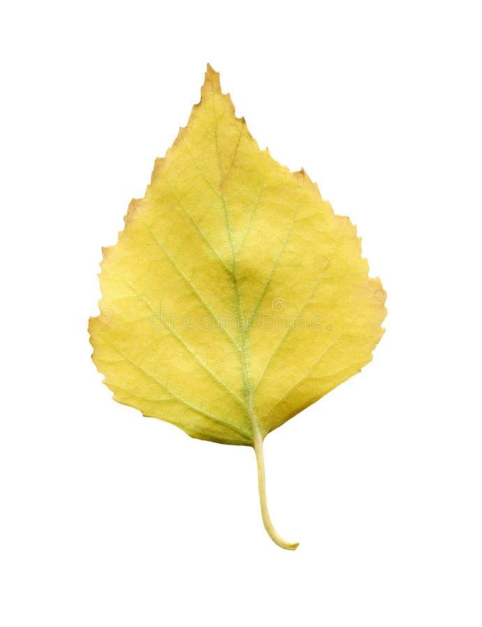 Folha caída amarelo da árvore de vidoeiro isolada Folha do outono da árvore de vidoeiro foto de stock