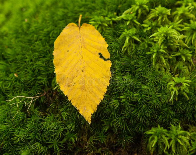 Folha caída amarelo no fundo verde do musgo imagem de stock royalty free