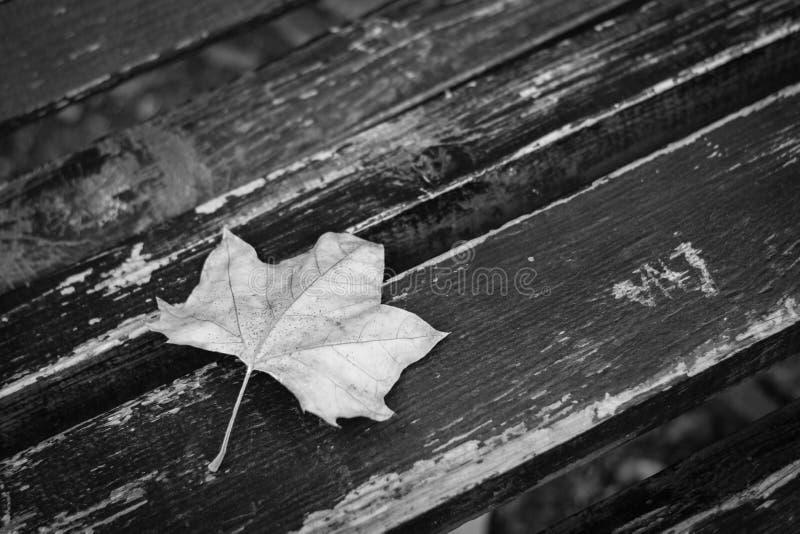 Folha caída da árvore de bordo, branco preto fotografia de stock royalty free