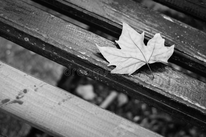 Folha caída da árvore de bordo, conceito branco preto foto de stock royalty free