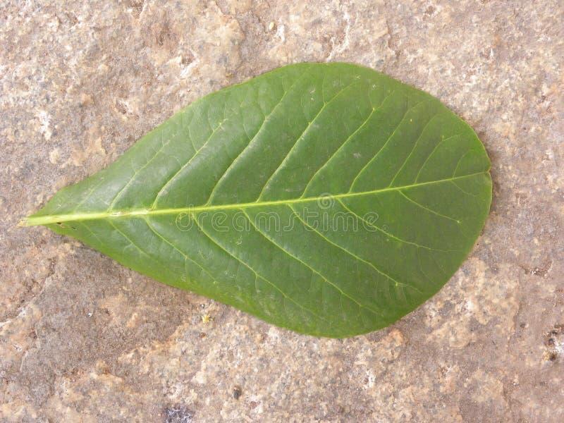 Folha caída da cor verde da árvore de amêndoa tropical foto de stock