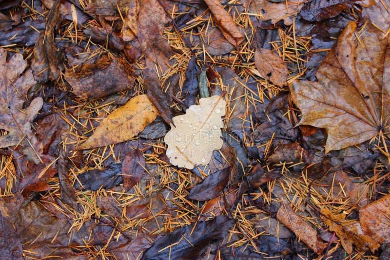 Folha caída do carvalho com gotas imagens de stock