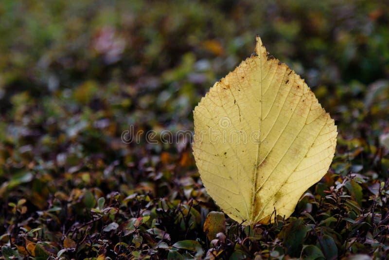 Folha caída do outono fotografia de stock