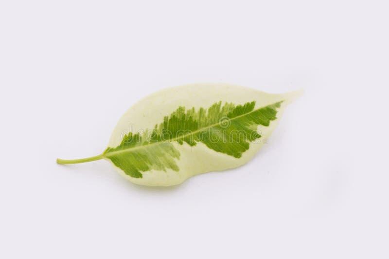 Folha caída verde imagens de stock