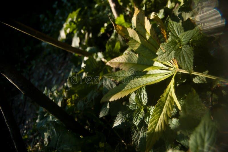 Folha caída verde da marijuana imagens de stock