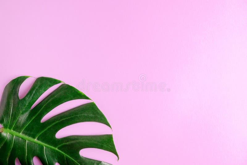 Folha colocada lisa do monstera do verde da vista superior no fundo cor-de-rosa Zombaria tropical acima Espaço para rotular imagem de stock