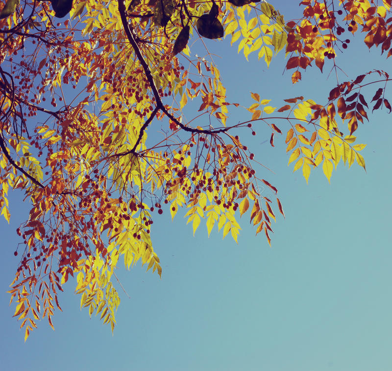 Folha colorida da árvore no outono Fundo do céu das folhas de outono a imagem é retro filtrada imagens de stock