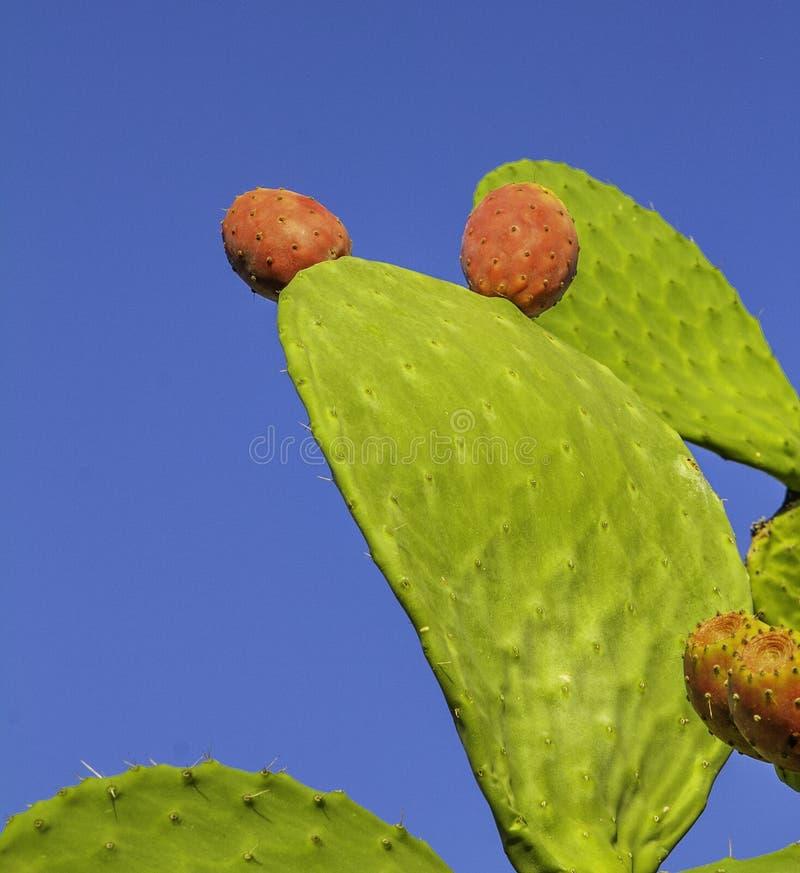 Folha colorida do verde da pera espinhosa e fruto vermelho que alcançam até um céu azul profundo de plantas nativas em Sicília imagem de stock royalty free