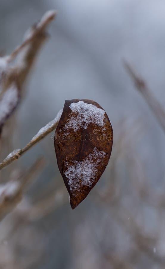 Folha congelada no ramo fotos de stock royalty free