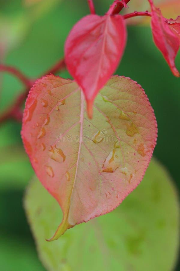 Folha cor-de-rosa bonita no jardim com pingos de chuva imagem de stock