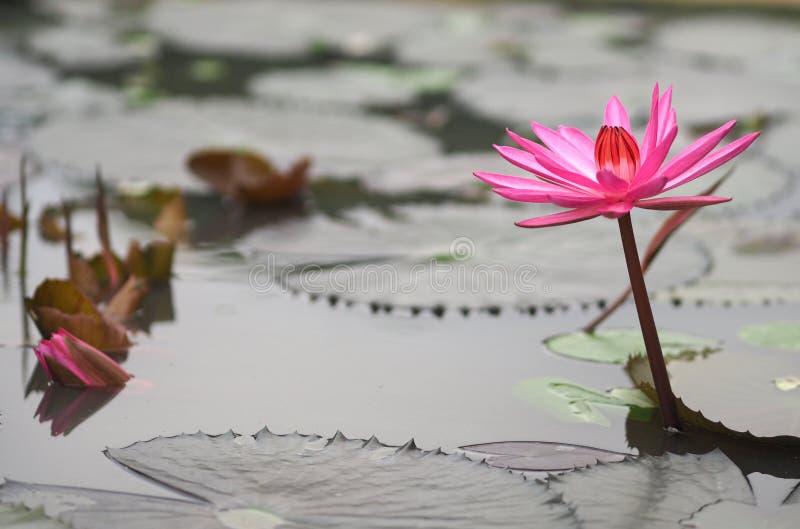 Folha cor-de-rosa de Lotus com o lírio de água afiado do NYMPHAEACEAE dos lótus do Nymphaea dos entalhes foto de stock royalty free