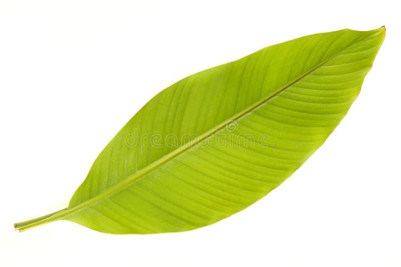 Folha da árvore de banana em um fundo branco imagens de stock