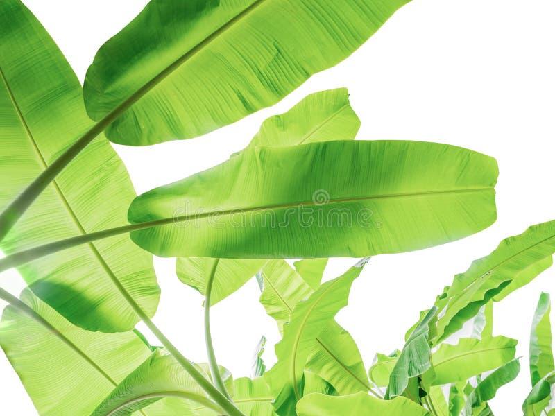 folha da árvore de banana da planta tropical, das férias e do abrandamento concentrados imagem de stock royalty free