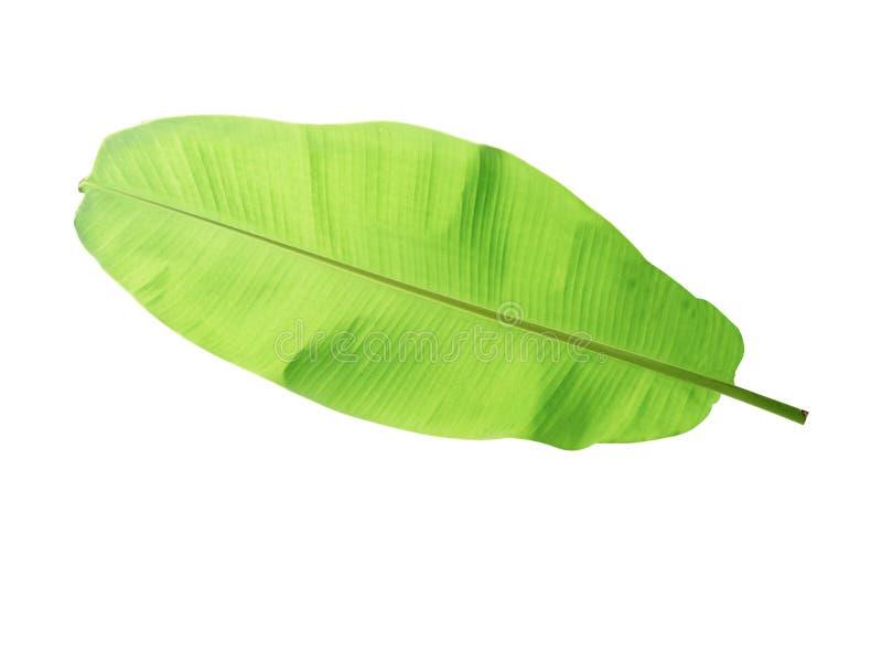 folha da árvore de banana da planta tropical, das férias e do abrandamento concentrados fotos de stock royalty free