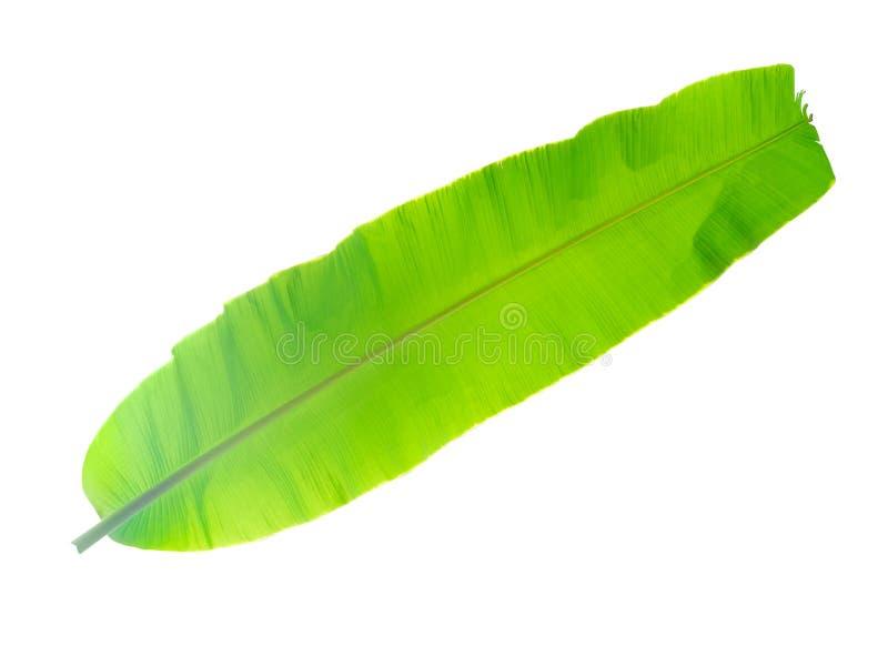 folha da árvore de banana da planta tropical, das férias e do abrandamento concentrados foto de stock royalty free
