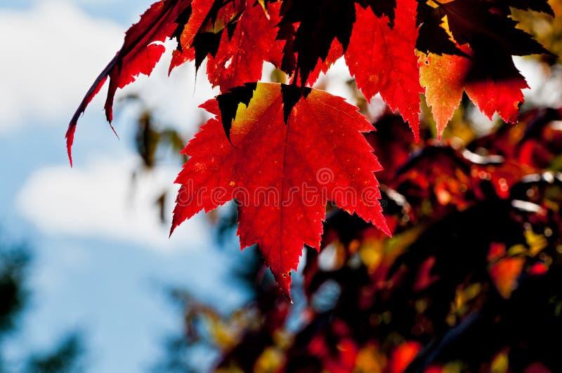 Folha da árvore de bordo vermelho, parte traseira leve fotografia de stock royalty free