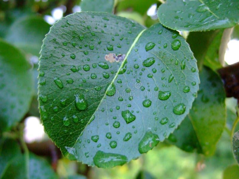 Folha da árvore de fruto com pingos de chuva imagem de stock royalty free