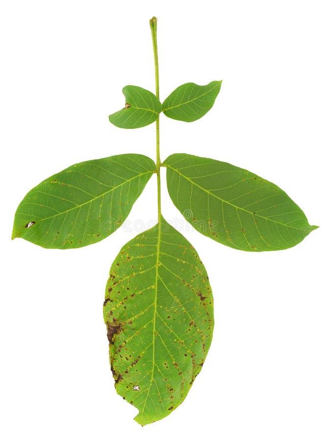 Folha da árvore de noz atacada pelo ácaro fotografia de stock