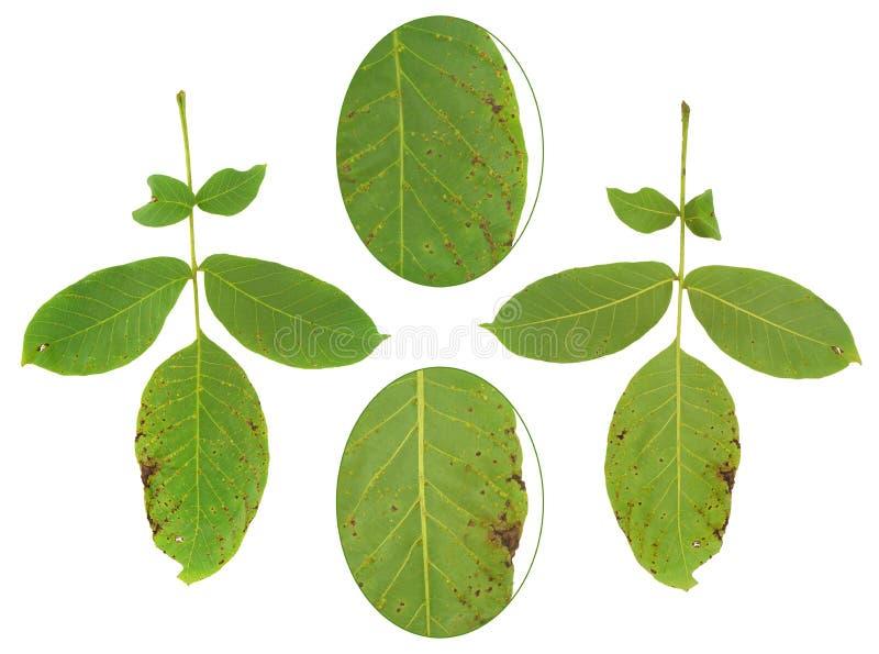 Folha da árvore de noz atacada pelo ácaro, erineus de Aceria imagem de stock