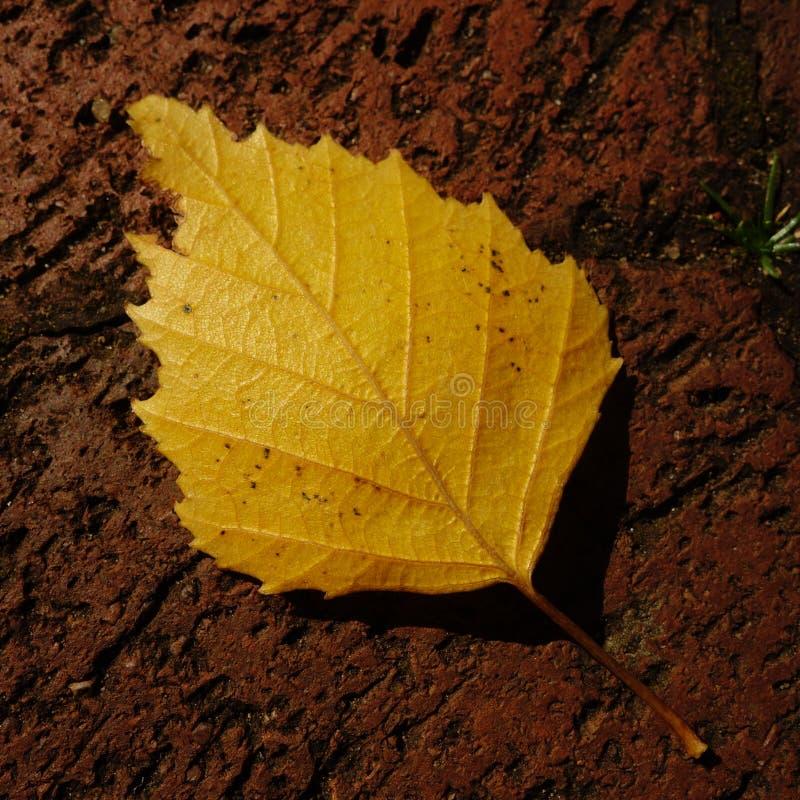 Folha da árvore de vidoeiro amarelo imagem de stock
