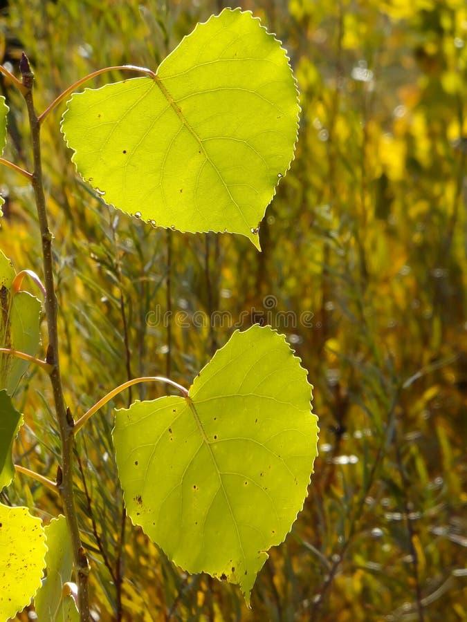 Folha da árvore do Cottonwood fotos de stock royalty free