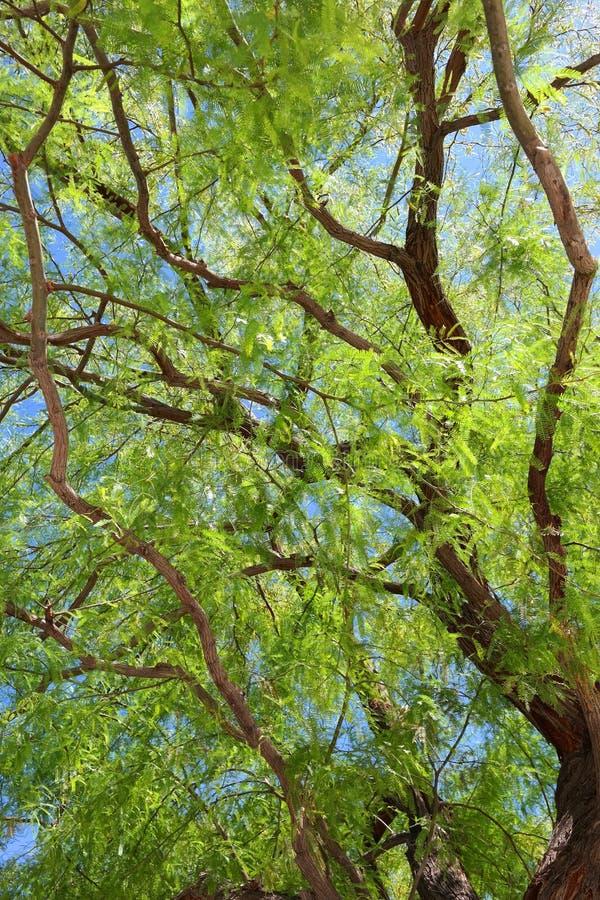 Folha da árvore do Mesquite fotos de stock royalty free