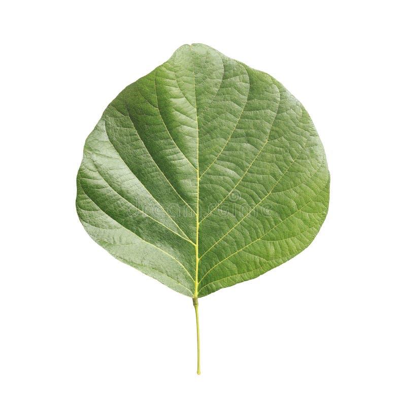 Folha da árvore isolada no branco no fundo branco imagens de stock royalty free