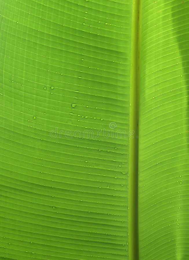 Folha da banana imagens de stock