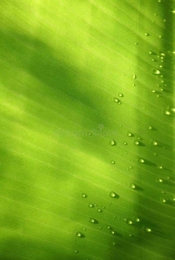 Folha da banana com gotas ilustração do vetor