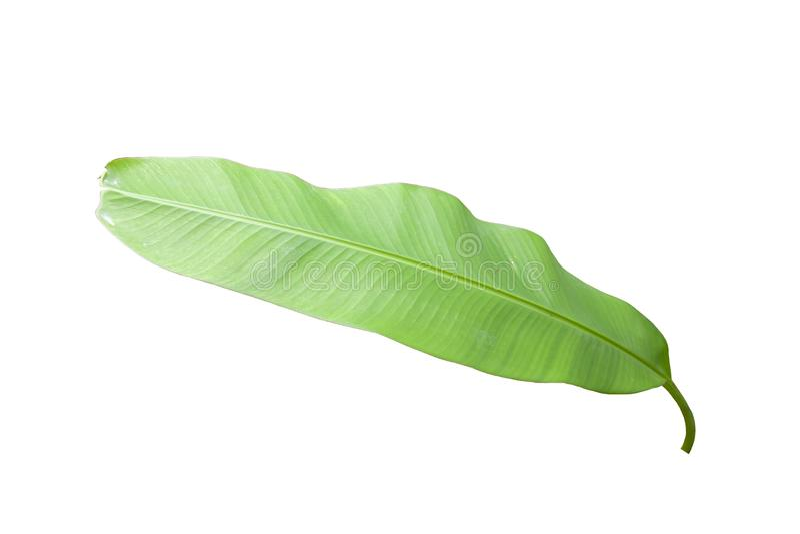 Folha da banana isolada no fundo branco imagem de stock royalty free