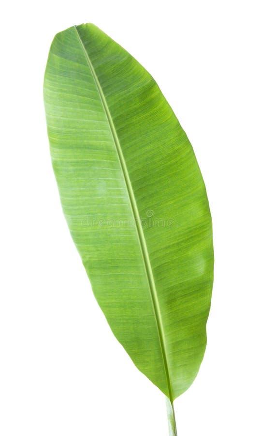folha da banana Isolado no fundo branco com trajeto de grampeamento imagens de stock