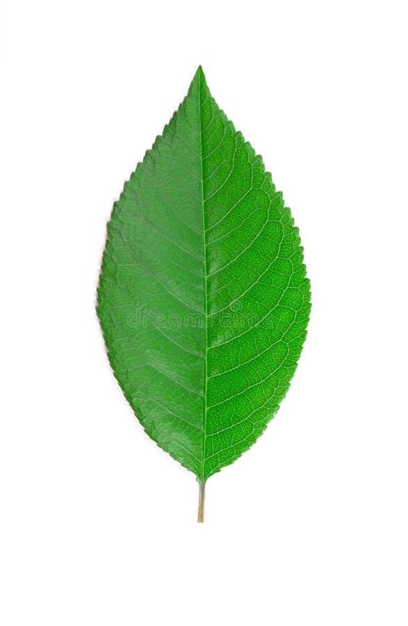 Folha da cereja. imagem de stock royalty free